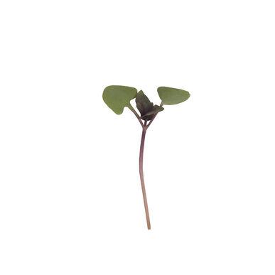 Basil, Bicolor Slow Growing Varieties