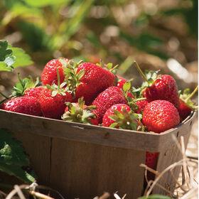 草莓草莓裸根植物植物集合