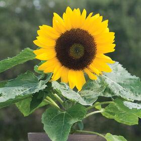 Sunny Smile Dwarf Sunflowers