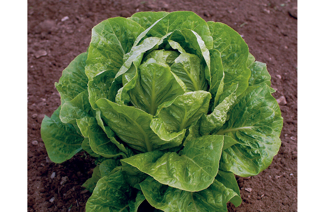 Jericho Organic Lettuce Seed Johnnys Selected Seeds
