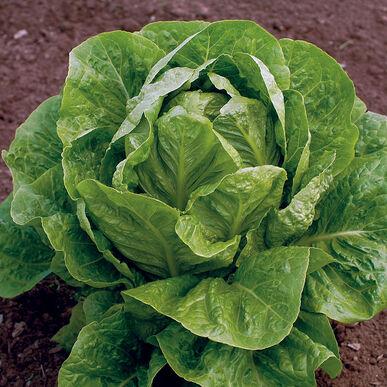 Jericho Romaine Lettuce (Cos)