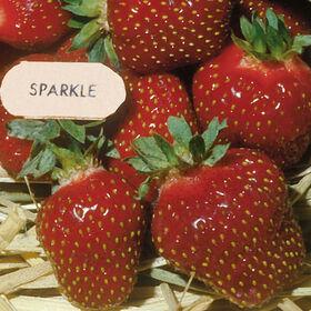 闪耀草莓裸根植物