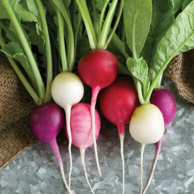 Easter Egg II Round Radishes