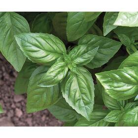 Genovese Pesto Basil