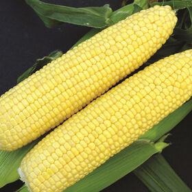 XTH 1273 Sweet Corn