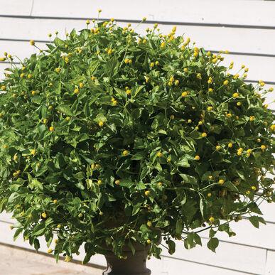 Lemon Drops Spilanthes