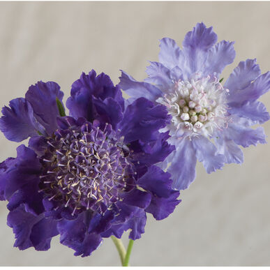Fama Deep Blue Scabiosa (Pincushion Flower)