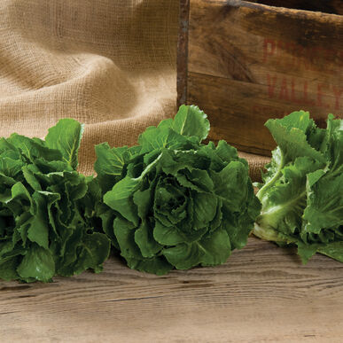 Fenberg Romaine Lettuce (Cos)
