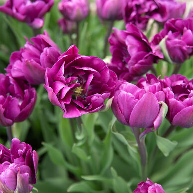 Negrita Double Tulips