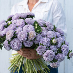 Lady Coral Lavender Aster