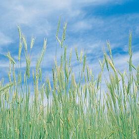 冬天黑麦的冬天黑麦