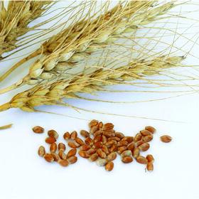 春小麦(Glenn)小麦