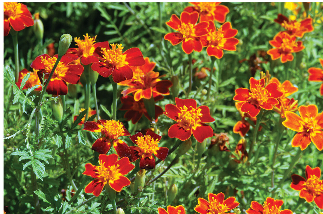 Red Gem Marigold Seed Johnnys Selected Seeds