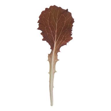 Tamarindo Lettuce