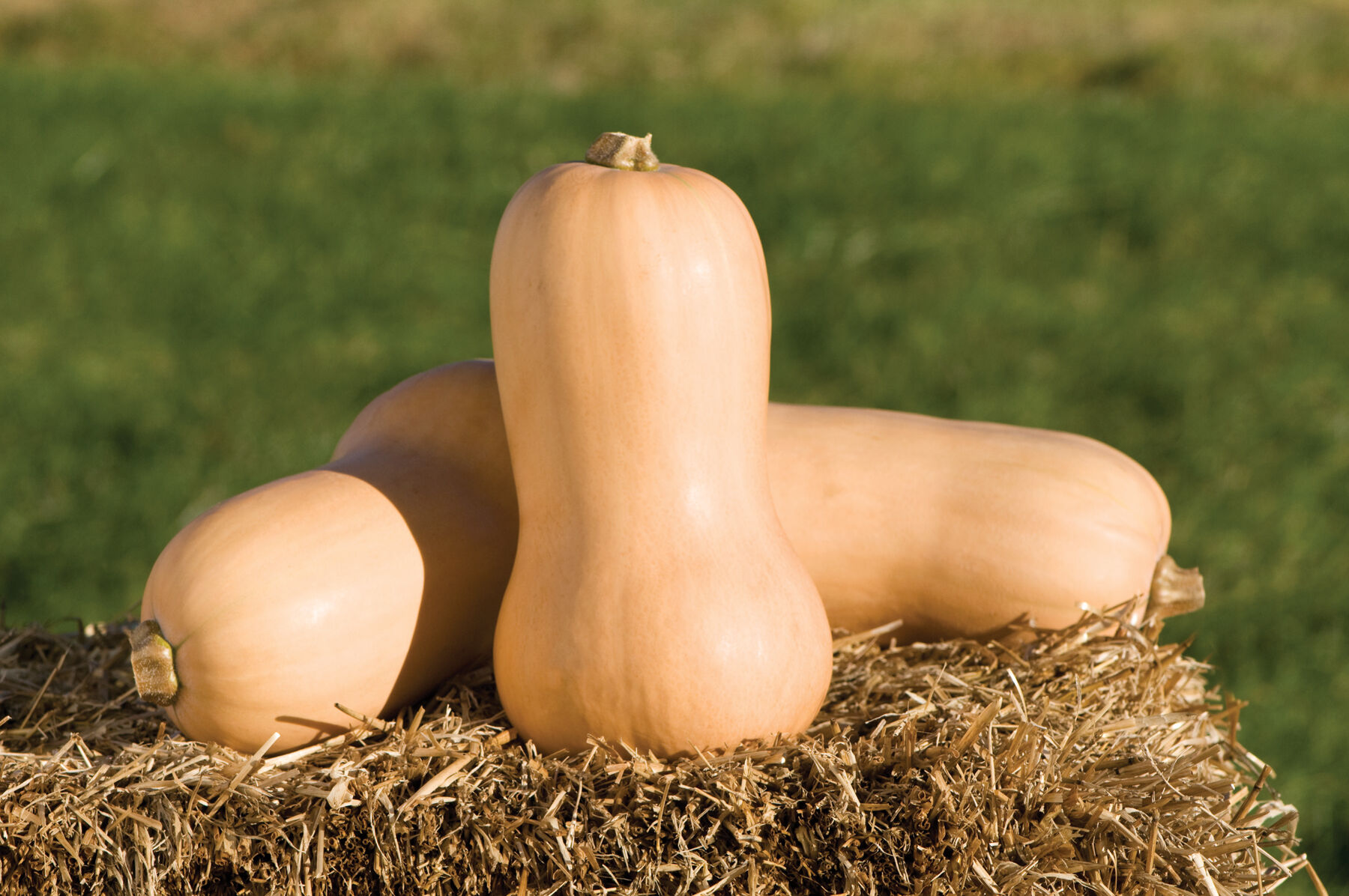 Butternut squash days to maturity