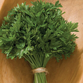 Titan Leaf Parsley