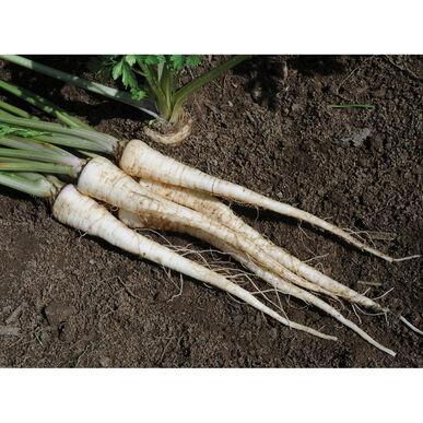 Arat Root Parsley