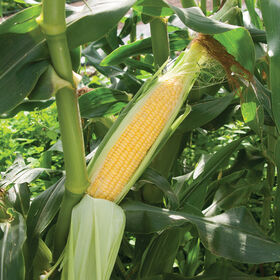 Vision MXR Sweet Corn