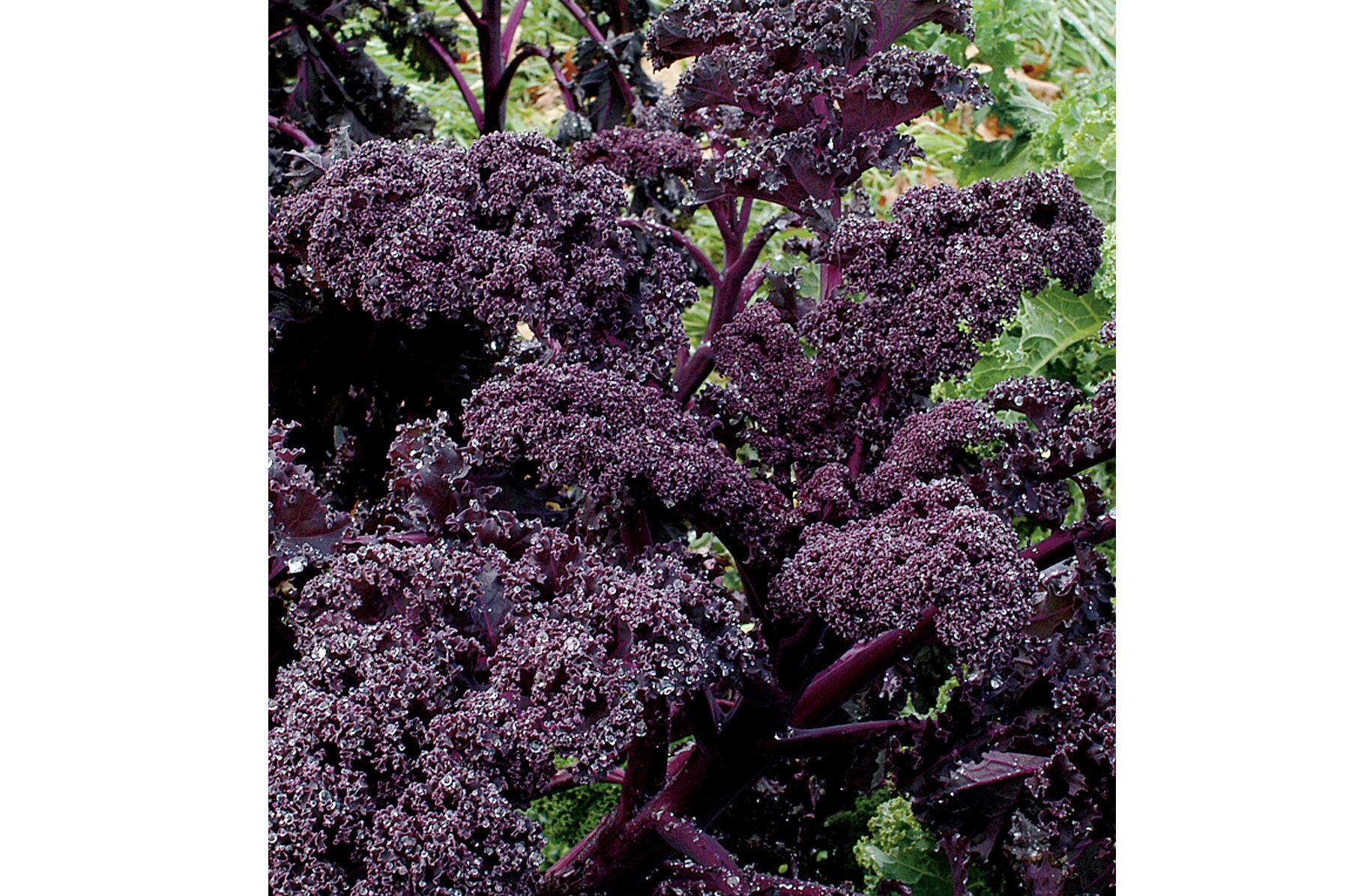 Amazon.com : Purple Curly Kale/Leafy Cabbage 'Scarlet' (Brassica ...