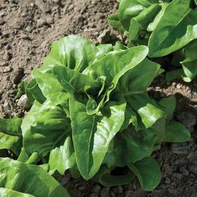 Deer Tongue Heritage Lettuce