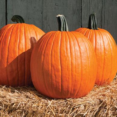 Three pumpkins on hay