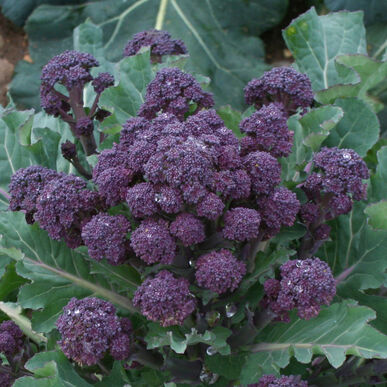 Red Fire Sprouting Broccoli