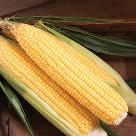 SS3778R Sweet Corn