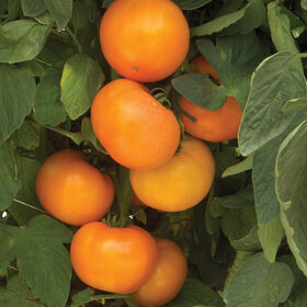 BHN 871 Slicing Tomatoes