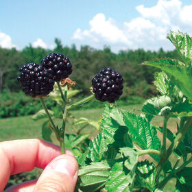 Prime Ark® Freedom Blackberry