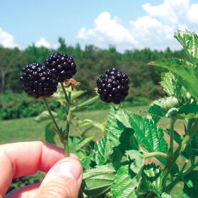 优质方舟∈自由黑莓