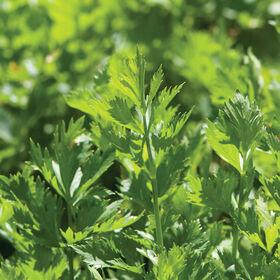 切芹菜沙拉混合草药