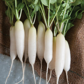 White Icicle Short Top Long French Radishes
