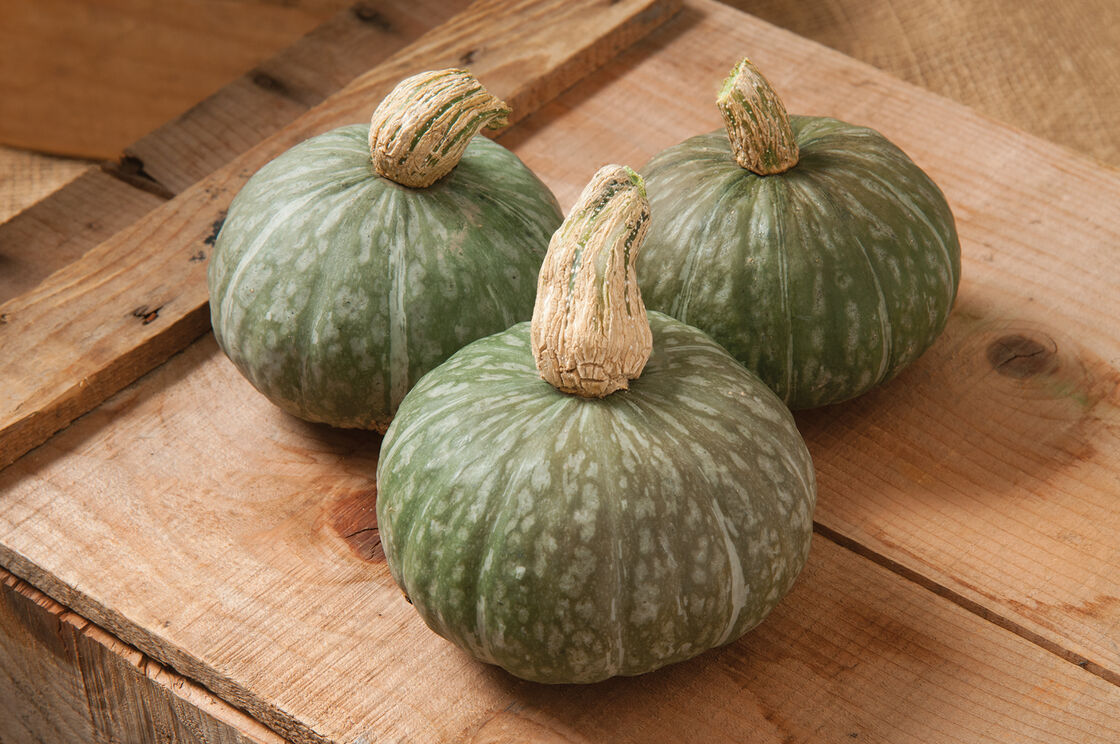 Shokichi Green - (F1) Squash Seed | Johnny\'s Selected Seeds