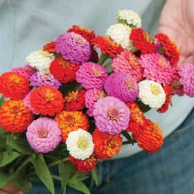 Sunbow Mix Tall Zinnias