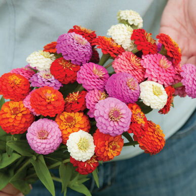 Sunbow Mix - Zinnia Seed | Johnny's Selected Seeds on