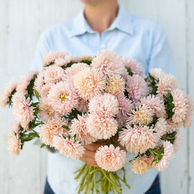 King Size Apricot Aster