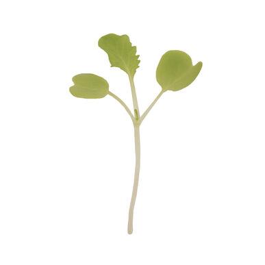 Chinese Cabbage, Tokyo Bekana Fast Growing Varieties