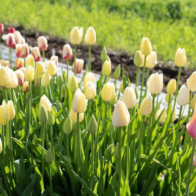 Maureen Tulips