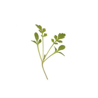 Cress, Cressida Microgreen Vegetables