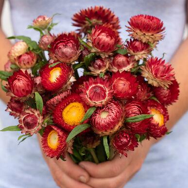 Fireball Strawflower