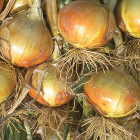 Madalyn Full-Size Onions