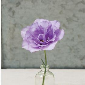 Mariachi Lavender Mariachi Series
