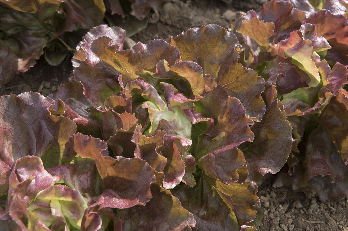 Skyphos - Pelleted Lettuce Seed | Johnny\'s Selected Seeds