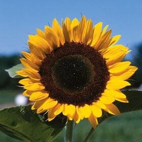Sunny Tall, Single Stem Sunflowers