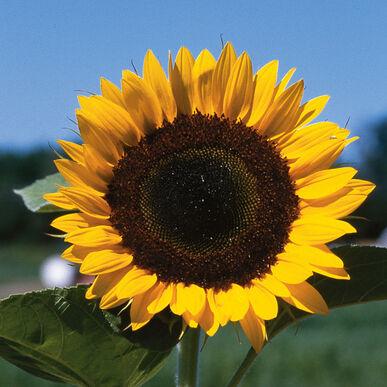 Sunny Tall Sunflowers