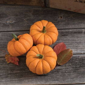 Jill-Be-Little Specialty Pumpkins