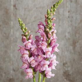 Potomac Lavender