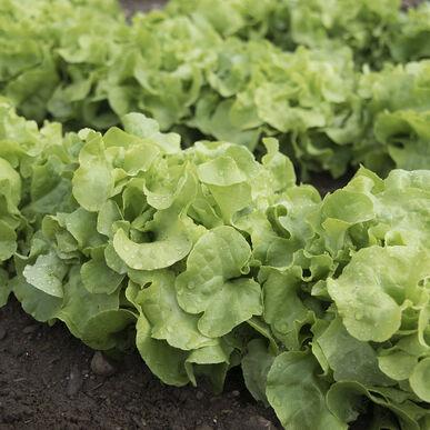Panisse Oakleaf Lettuce