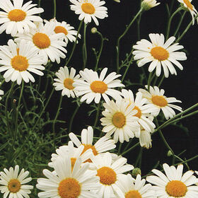 Pyrethrum