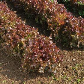 红沙拉碗橡树莴苣